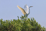 A great egret flying over a marsh in Cameron Parish, Louisiana.