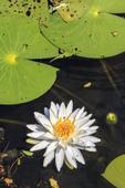 Blooming American lotus flower seen in a marsh in Cameron Parish, Louisiana.