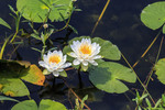 Blooming American lotus flowers seen in a marsh in Cameron Parish, Louisiana.