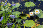 Blooming white lotus flowers and lavender pickerel weed seen in a marsh in Cameron Parish, Louisiana.