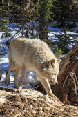Wolves walk with visitors during a guided wolf walk in the forest near Golden BC.