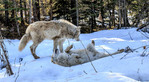 Wolves play in the snow near Golden BC.