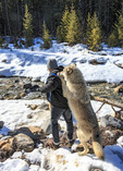"Guided walk with wolves in the forest includes an ""encounter"" where the wolf stands on a visitor's back and often licks their neck."