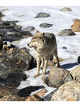 Near a forest stream, wolves walk with visitors during a guided wolf walk near Golden BC.