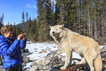 Woman photographs a wolf  during a guided wolf walk in the forest near Golden BC. The walks are led by Northern Lights Wolf Centre, a wolf rescue and education center. The wolves have been socialized to people from birth and are used to walking with visitors.
