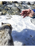 Woman meets Scrappy Dave, one of the wolves on a guided wolf walk through the forest