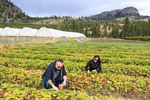 Visitors get to pick strawberries during farm tour at Covert Farms in the southern Okanagan Valley, BC, Canada.
