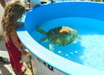 Little girl watches one of the rescued turtles at the Turtle Hospital in Marathon, Florida.