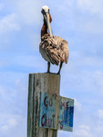 Brown pelican, also called Florida pelican  (Pelecanus occidentalis), in waters of Islamorada in the Florida Keys.