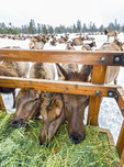 Hungry elk come in to eat from hay bales on a sled which takes people out to watch the elk feeding in Donnelly, ID, near McCall.