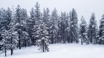 Snow covered conifer trees near McCall in southern Idaho.