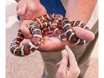 Little girl touches a California mountain kingsnake, which is not poisonous.
