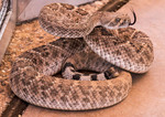 The western diamondback rattlesnake or Texas diamond-back, sticking tongue out to sniff. Is poisonous.
