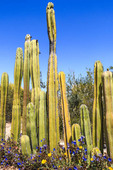 Mexican fencepost cactus is a tall cactus with columnar trunks