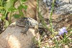 The desert spiny lizard ranges across the deserts of southwestern Arizona