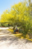 Woman rests on a bench below a blooming foothills palo verde tree in Tohono Chul park in Tucson, Arizona.