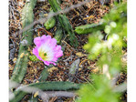Purple bloom on an alichoche or lady finger cactus.