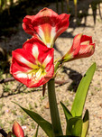 Known as amaryllis, this South American flower grows from a bulb, and has become a popular house plant