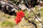 Ocotillo bloom indigenous to the deserts in United States and northern Mexico