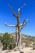 Stark dead tree at Windy Point along the road up Mount Lemmon in southern Arizona.