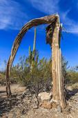 Live saguaro cactus framed by dead saguaro cactus.