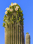Cactus flowers bloom on saguaro cactus.
