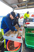 Sorting prawns caught by the commercial fishing boat Nordic Rand off Vancouver Island, BC, Canada