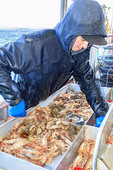 Commercial fishing boat Nordic Rand off Vancouver Island, BC, Canada, fishing for prawns. Sorting the prawns by size.