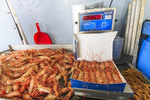 Prawns fresh caught by commercial fishing boat off Vancouver Island, BC, Canada. Prawns are then boxed for sale.