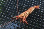 Closeup of a fresh caught prawn. Like a shrimp but larger.