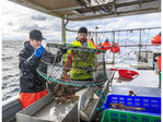 Commercial fishing boat Nordic Rand off Vancouver Island, BC, Canada, fishing for prawns (like shrimp but larger). Emptying prawns from trap onto sorting table.