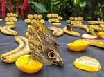 Owl butterflies munching on orange slice at Victoria Buttefly Gardens, Victoria, BC, Canada.