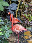 Caribbean flamingos at Victoria Butterfly Gardens. Victoria, BC, Canada.