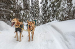 Dog sled tour with Mountain Man Dog Sled Adventures at Sun Peaks Resort in British Columbia, Canada. Guests ride in the sled pulled by dogs.