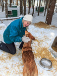 At the end of a tour with Mountain Man Sled Dog Adventures, guests get to pet the adult dogs and puppies. This socializes them.