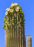 Cactus flowers bloom on saguaro cactus.