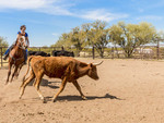 Cattle sorting at White Stallion Ranch, a dude ranch just outside Tucson, AZ.
