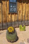 Fishhook barrel cactus, also called Arizona barrel cactus, candy barrel cactus, and Southwestern barrel cactus.