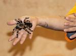 Chilean rose tarantula