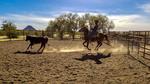 Cattle sorting at White Stallion Ranch outside Tucson, AZ.