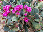 Prickly pear cactus in bloom in early April in Tucson, AZ.