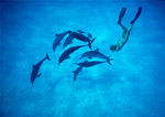 Atlantic spotted dolphins playing with free diver.