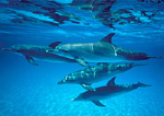 Atlantic spotted dolphins, juvenile pod, swimming just beneath ocean surface at Little Bahama Bank.