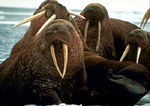 Pacific walrus hauled out on Arctic pack ice approximately nine miles off coast of Barrow, Alaska.