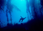 California sea lion silhouetted over reef ledge in giant kelp forest, Santa Barbara Island, California.