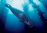 Harbor seal in giant kelp forest, Monterey, California.