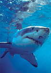 Great white shark descending from just beneath ocean surface, anterior/lateral view.
