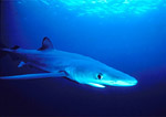 Blue shark, anterior/lateral view, cruises in open ocean off Anacapa Island, California.
