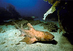 A horn shark rests on the sandy floor of a giant kelp forest off the coast of California.