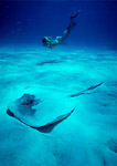 Southern stingray lies partially buried on a sandy Caribbean Sea bottom as a free-diver observes from a distance.